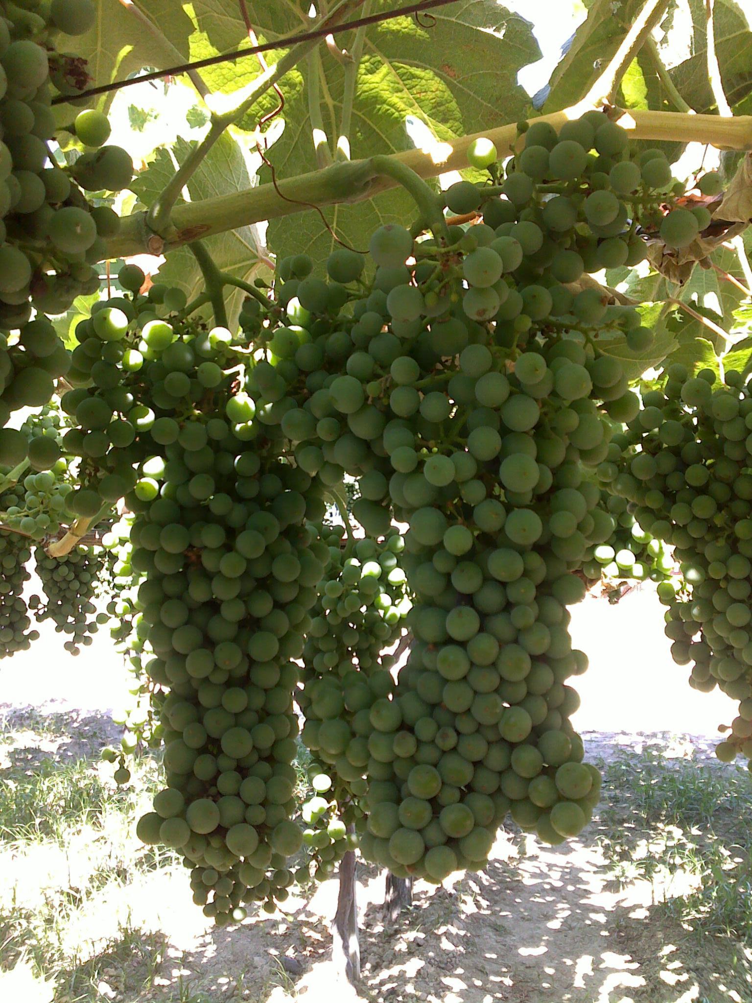 Het druivenras Greco